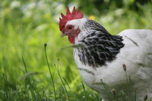 venta de huevos de gallina
