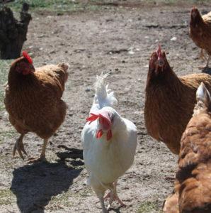 huevos camperos comprar
