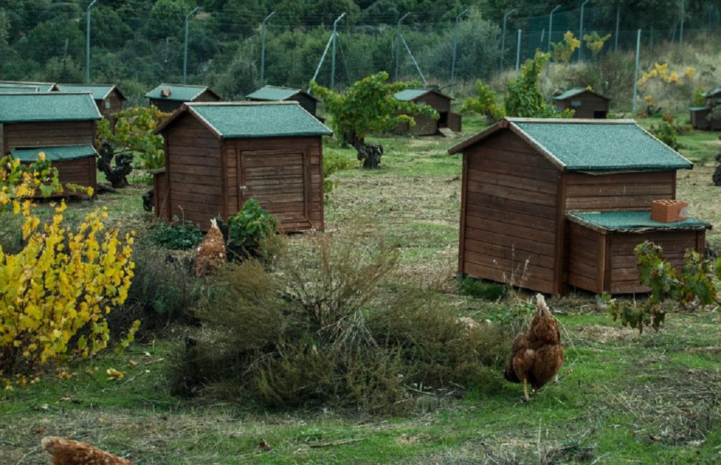 estrés para las gallinas