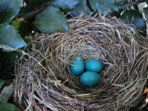 Venta de Huevos Azules de Gallina Araucana